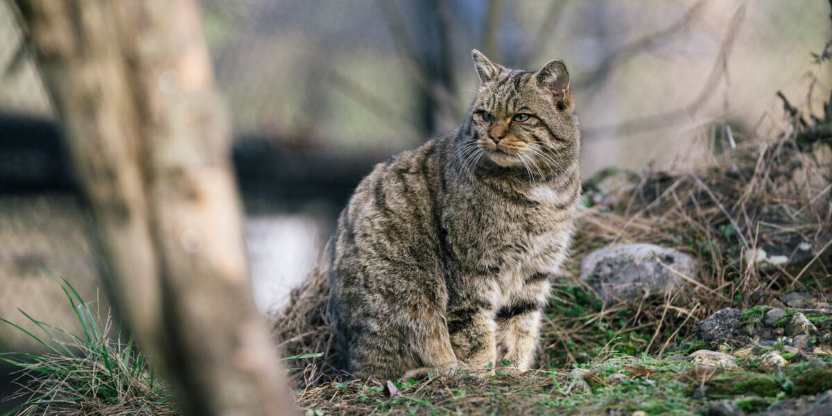 Euorpäische Wildkatze
