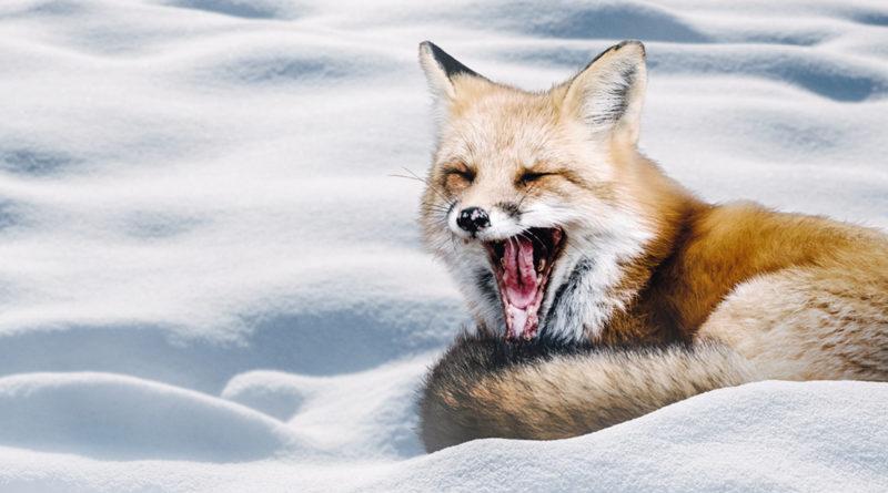 Wach im Winter - Fuchs
