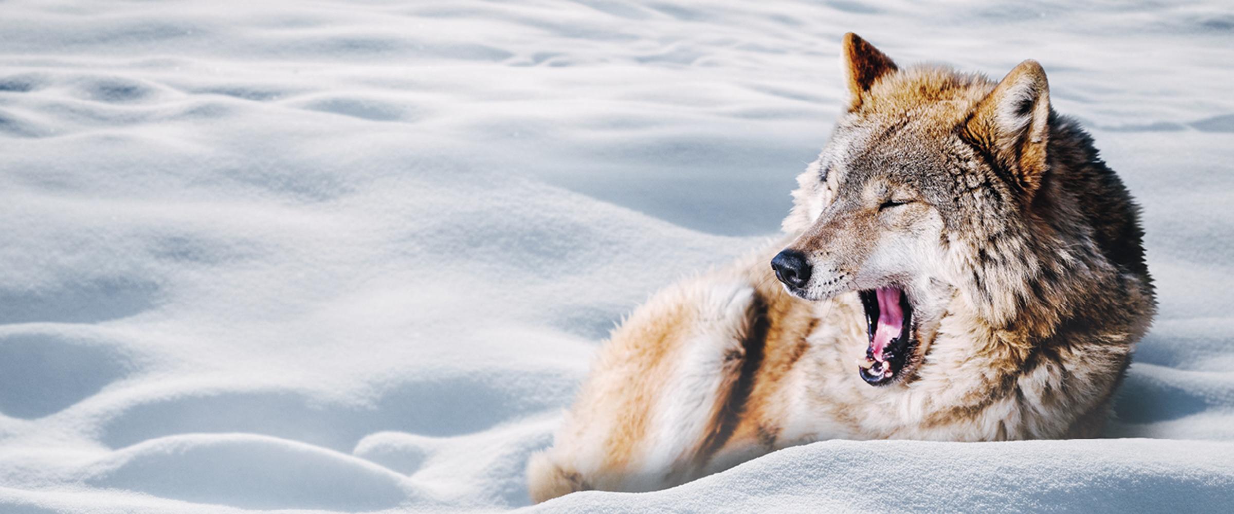 Wach im Winter - Wolf