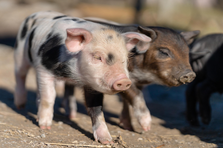 Junge Alpenschweine