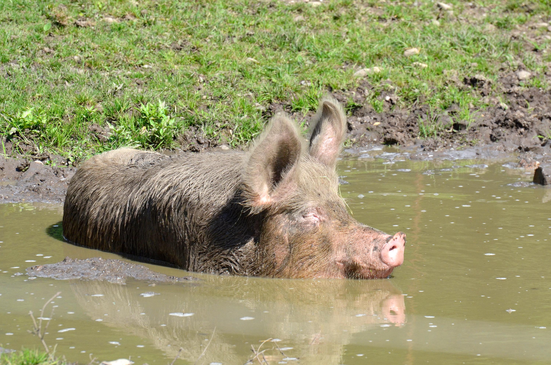 Hausschwein in der Suhle