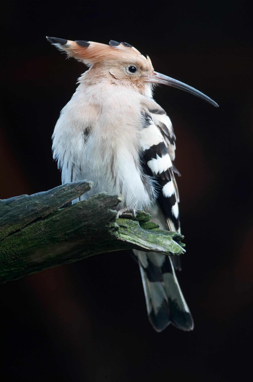 Auffallend am Wiedehopf sind sein langer, gekrümmter Schnabel und seine Federnhaube auf dem Kopf.