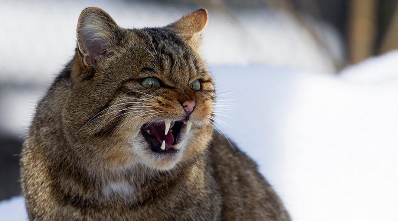 Wildkatze, Winter