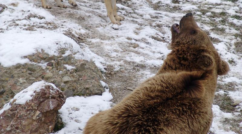 Bär und Wölfe
