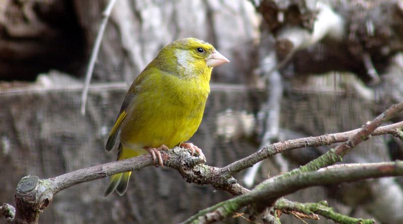 Grünfink, Event der frühe Vogel