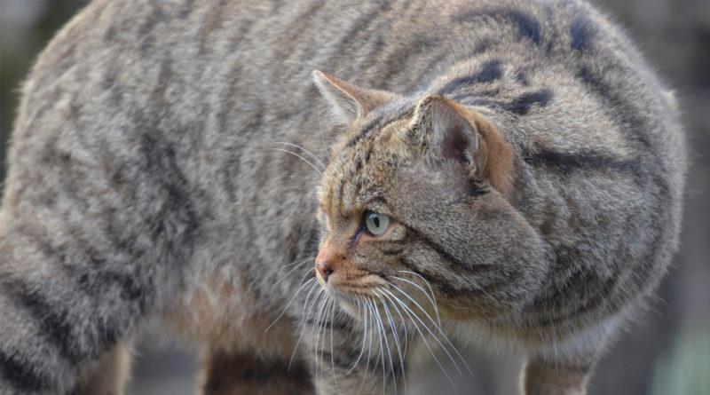 Wildkatze, Ferienprogramm im Tierpark