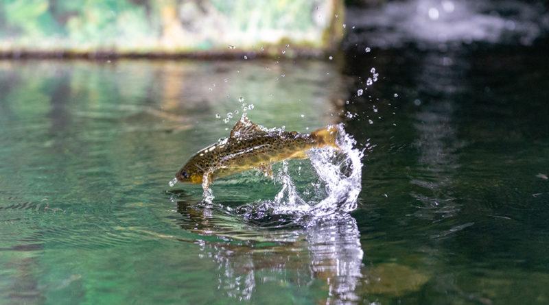 Fischerbrevet, Fisch